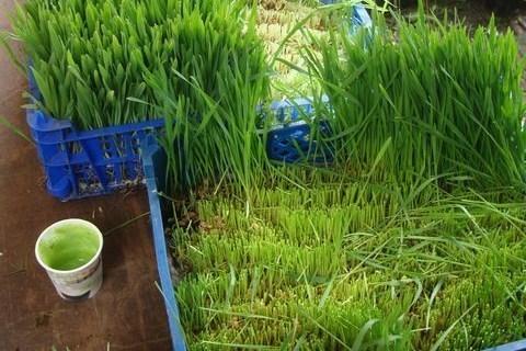 C'est vert et c'est bio, le jus d'herbe frais fait fureur !