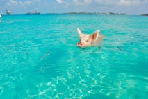Cochon de natation dans les îles © DR