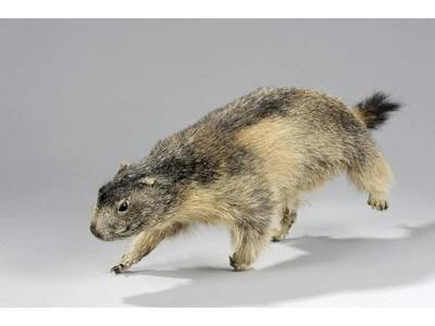 Marmotte (c) Etude Chevau Legers.
