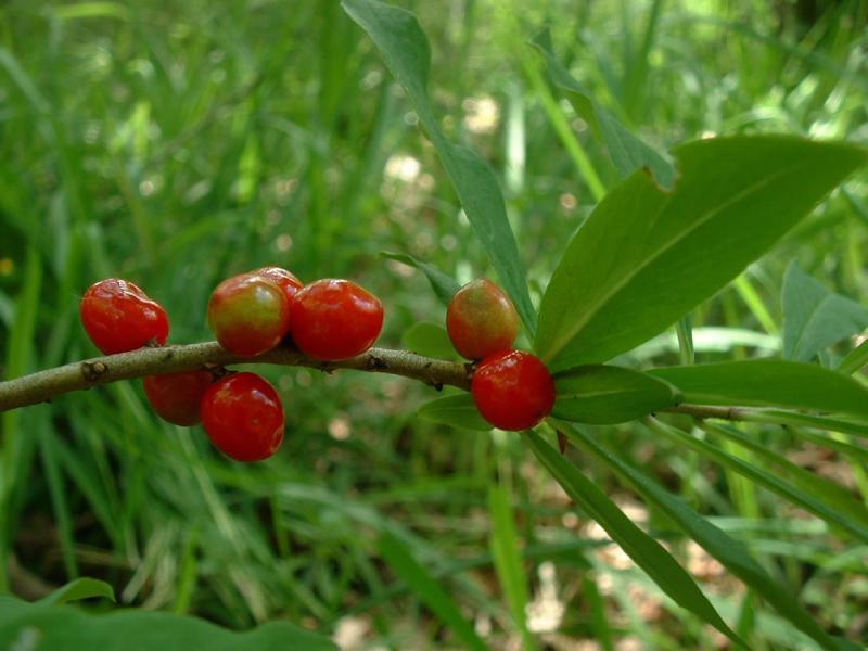 Baies de Mézéréon - Bois joli, plante toxique - photo J.F. Gaffard sous licence creative common.